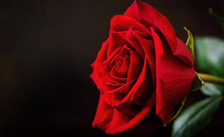 Fleurs éternelles, le spécialiste des roses éternelles de qualité