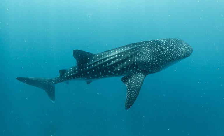 Quelle est la saison pour aller nager avec les requins baleines au Mexique ?