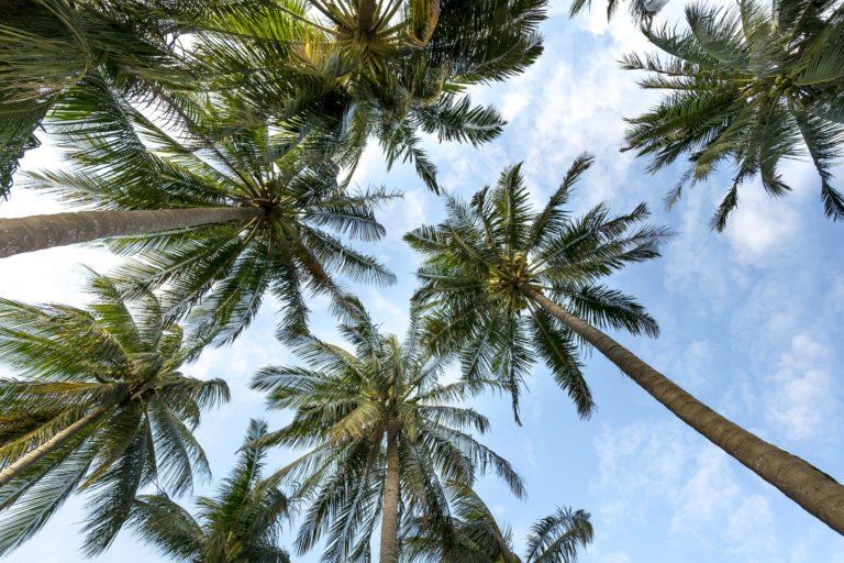Comment élaguer un palmier?