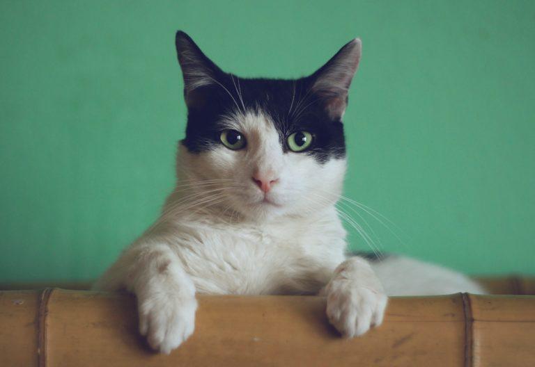 Chat qui miaule, qu'est ce que ça veut dire ?